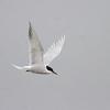 Makrellterne / Common Tern<br /> Linnesstranda, Lier 5.5.2012<br /> Canon Eos 7D + EF 400 mm 5,6 L