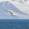 Polarmåke / Glaucous Gull<br /> Longyearbyen, Svalbard 10.7.2016<br /> Canon 7D Mark II + Tamron 150 - 600 mm 5,0 - 6,3