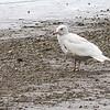Polarmåke / Glaucous Gull<br /> Linnesstranda, Lier 5.5.2012<br /> Canon EOS 7D + EF 400 mm 5,6 L