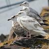 Polarmåke / Glaucous Gull<br /> Kiberg, Varanger 9.7.2013<br /> Canon EOS 7D + EF 100-400 mm 4,5-5,6 L