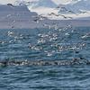 Havhest / Northern Fulmar<br /> Isfjorden, Svalbard 8.7.2016<br /> Canon 7D Mark II + Tamron 150-600 mm 5,0-6.3 @ 350 mm