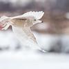 Polarmåke / Glaucous Gull<br /> Linnesstranda, Lier 3.3.2018<br /> Canon 7D Mark II + Tamron 150 - 600 mm 5,0 - 6,3 G2