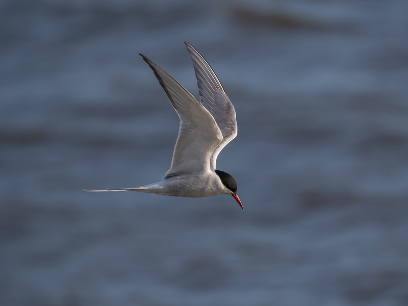 Rødnebbterne / Arctic Tern<br /> Linnesstranda, Lier 4.6.2015<br /> Canon 7D Mark II + Tamron 150 - 600 mm 5,0 - 6,3
