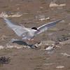 Rødnebbterne / Arctic Tern<br /> Morups Tånge, Sverige 24.5.2009<br /> Canon EOS 50D + EF 400 mm 5.6 L