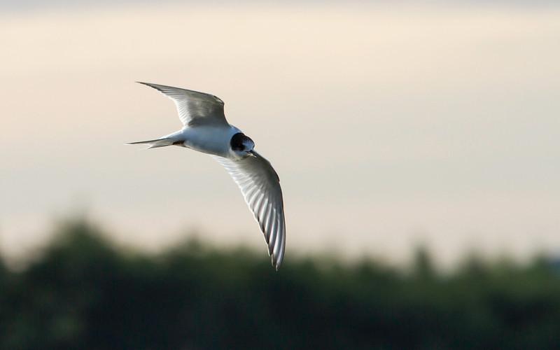 Rødnebbterne / Arctic Tern<br /> Linnesstranda, Lier 9.9.2012<br /> Canon EOS 7D + EF 100-400 mm 4,5-5,6 L