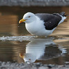 Sildemåke / Lesser Black-backed Gull<br /> Sundland, Drammen 10.5.2015<br /> Canon 7D Mark II + Tamron 150 - 600 mm 5,0 - 6,3