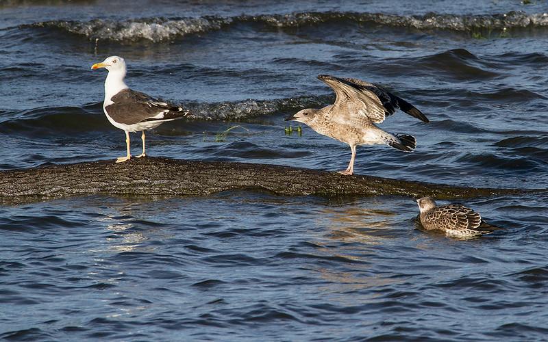Sildemåke / Lesser Black-backed Gull<br /> Linnesstranda, Lier 10.8.2014<br /> Canon EOS 7D + Tamron 150 - 600 mm 5,0 - 6,3
