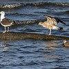 Sildemåke / Lesser Black-backed Gull<br /> Linnesstranda, Lier 10.8.2014<br /> Canon EOS 7D + Tamron 150 - 600 mm 5,0 - 6,3