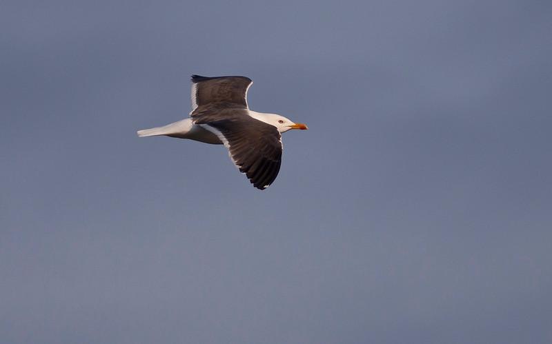 Sildemåke / Lesser Black-backed Gull<br /> Linnesstranda, Lier 16.4.2009<br /> Canon EOS 50D + EF 400 mm 5,6 L