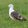 Sildemåke / Lesser Black-backed Gull<br /> Lista; Vest-Agder 22.5.2018<br /> Canon 7D Mark II + EF 500mm f/4L IS II USM + 1.4x Ext III