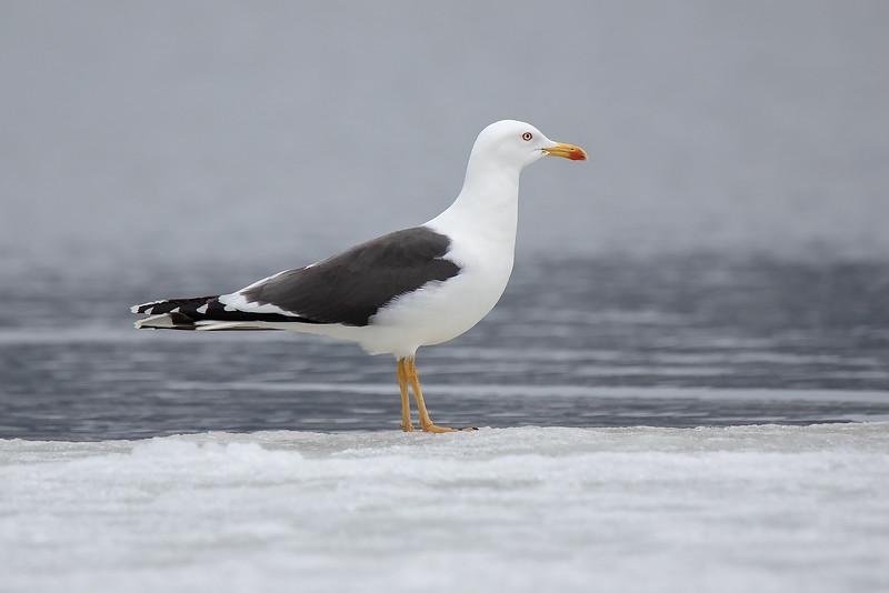 Sildemåke / Lesser Black-backed Gull<br /> Linnesstranda, Lier 8.4.2018<br /> Canon 7D Mark II + Tamron 150 - 600 mm 5,0 - 6,3