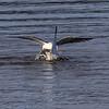 Sildemåke / Lesser Black-backed Gull<br /> Linnesstranda, Lier 21.4.2021<br /> Canon  EOS R5 + EF 500mm f/4L IS II USM + 1.4x Ext