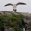 Sildemåke / Lesser Black-backed Gull <br /> Oslofjorden, Røyken 22.5.2005<br /> Canon EOS 20D + EF 200 mm 2,8 + Extender 1,4 x