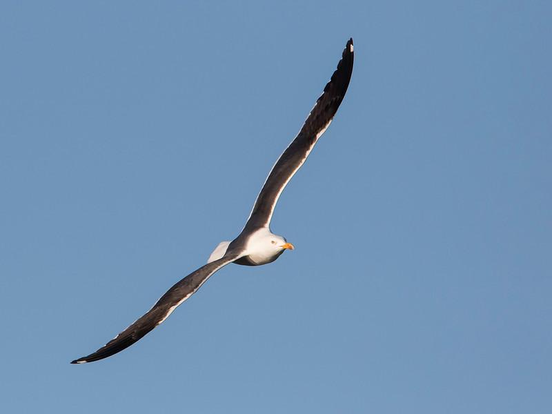 Sildemåke / Lesser Black-backed Gull<br /> Linnesstranda, Lier 12.4.2015<br /> Canon 7D Mark II + Tamron 150 - 600 mm 5,0 - 6,3