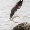 Sildemåke / Lesser Black-backed Gull<br /> Linnesstranda, Lier 5.8.2017<br /> Canon EOS 7D + Tamron 150 - 600 mm 5,0 - 6,3 G2