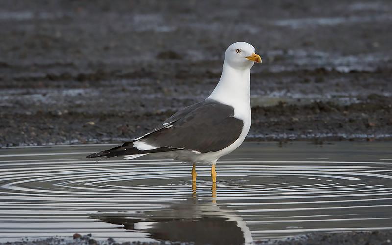 Sildemåke / Lesser Black-backed Gull<br /> Sundland, Drammen 10.5.2015<br /> Canon 7D Mark II + Tamron 150 - 600 mm 5,0 - 6,3