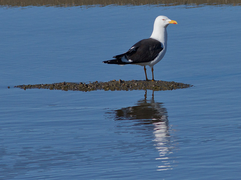 Sildemåke / Lesser Black-backed Gull<br /> Linnesstranda, Lier 5.5.2012<br /> Canon EOS 7D + EF 400 mm 5,6 L