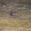 Storjo / Great Skua<br /> Runde, Møre og Romsdal 9.7.2009<br /> Canon EOS 50D + EF 400 mm 5,6 L