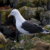 Svartbak / Great Black-backed Gull<br /> Runde, Møre og Romsdal 6.5.2005<br /> Canon EOS 20D + EF 200 mm 2,8 + Extender 1,4 x