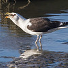 Svartbak / Great Black-backed Gull<br /> Linnesstranda, Lier 2.8.2013<br /> Canon EOS 7D + EF 100-400 mm 4,5-5,6 L