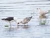 Svartbak / Great Black-backed Gull<br /> Linnesstranda, LIer 16.8.2014<br /> Canon EOS 7D + Tamron 150 - 600 mm 5,0 - 6,3