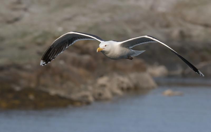 Svartbak / Great Black-backed Gull<br /> Å, Lofoten 11.7.2015<br /> Canon 7D Mark II + Tamron 150 - 600 mm 5,0 - 6,3 @ 300 mm