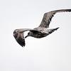 Svartbak / Great Black-backed Gull<br /> Tofte, Hurum 3.11.2013<br /> Canon EOS 5D Mark II + EF 100-400 4,5-5,6 L