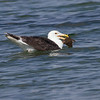 Svartbak / Great Black-backed Gull<br /> Agernæs havn, Fyn, Danmark 17.7.2014<br /> Canon EOS 7D + Tamron 150 - 600 mm 5,0 - 6,3