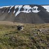 Tyvjo / Parasitic Jaeger<br /> Bjørndalen, Svalbard 10.7.2016<br /> Canon PowerShot G5 X