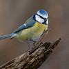 Blåmeis / Blue Tit <br /> Linnesstranda, Lier 4.11.2018<br /> Canon 5D Mark IV + Canon EF 500mm f/4L IS II USM + 1.4x Ext III