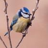 Blåmeis / Blue Tit <br /> Linnesstranda, Lier 18.4.2009<br /> Canon EOS 50D + EF 400 mm 5.6 L