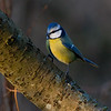 Blåmeis / Blue Tit <br /> Linnesstranda, Lier 26.11.2011<br /> Canon EOS 50D + EF 400 mm 5.6 L