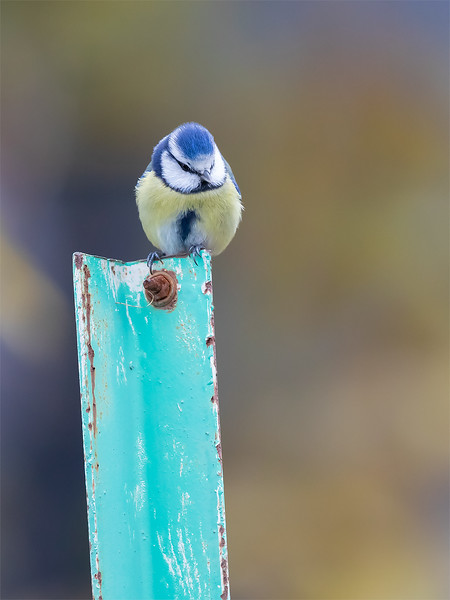 Blåmeis / Blue Tit <br /> Jensvoll, Lier 3.11.2018<br /> Canon 5D Mark IV + EF 500mm f/4L IS II USM + 1.4x Ext III