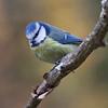 Blåmeis / Blue Tit<br /> Linneslia, Lier 19.10.2013<br /> Canon EOS 5D Mark II + EF 100-400 mm 4,5-5.6 L