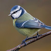 Blåmeis / Blue Tit <br /> Linnesstranda, Lier 11.10.2020<br /> Canon 5D Mark IV + Canon EF 500mm f/4L IS II USM + 1.4 x Ext