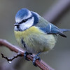 Blåmeis / Blue Tit <br /> Linnesstranda, Lier 19.10.2019<br /> Canon 5D Mark IV + Canon EF 500mm f/4L IS II USM