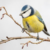Blåmeis / Blue Tit <br /> Linnesstranda, Lier 7.11.2020<br /> Canon 5D Mark IV + Canon EF 500mm f/4L IS II USM + 1.4 x Ext