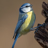 Blåmeis / Blue Tit <br /> Linnesstranda, Lier 18.11.2018<br /> Canon 5D Mark IV + EF 500mm f/4L IS II USM + 1.4x Ext III
