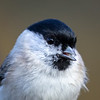 Løvmeis / Marsh Tit <br /> Linnesstranda, Lier 11.10.2020<br /> Canon  5D Mark IV + EF 500mm f/4L IS II USM + 1.4x Ext