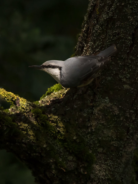 Spettmeis / Eurasian Nuthatch <br /> Jensvoll, Lier 10.9.2017<br /> Canon EOS 7D Mark II + Tamron 150 - 600 mm 5,0 - 6,3 G2