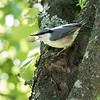 Spettmeis / Eurasian Nuthatch <br /> Jensvoll, Lier 11.9.2016<br /> Canon EOS 7D Mark II + Tamron 150 - 600 mm 5,0 - 6,3