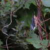 Spettmeis / Eurasian Nuthatch <br /> Linnesstranda, Lier 13.8.2011<br /> Canon EOS 50D + EF 400 mm 5.6 L