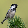Svartmeis / Coal Tit <br /> Jensvoll, Lier 19.8.2018<br /> Canon 5D Mark IV + EF 500mm f/4L IS II USM + 2x Ext