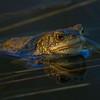 Padde / Toad<br /> Linnesstranda, Lier 20.4.2014<br /> Canon EOS 7D + EF 100-400 mm 4,5-5,6