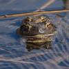 Padde / Toad<br /> Linnesstranda, Lier 16.4.2016<br /> Canon 7D Mark II + Tamron 150 - 600 mm 5,0 - 6,3
