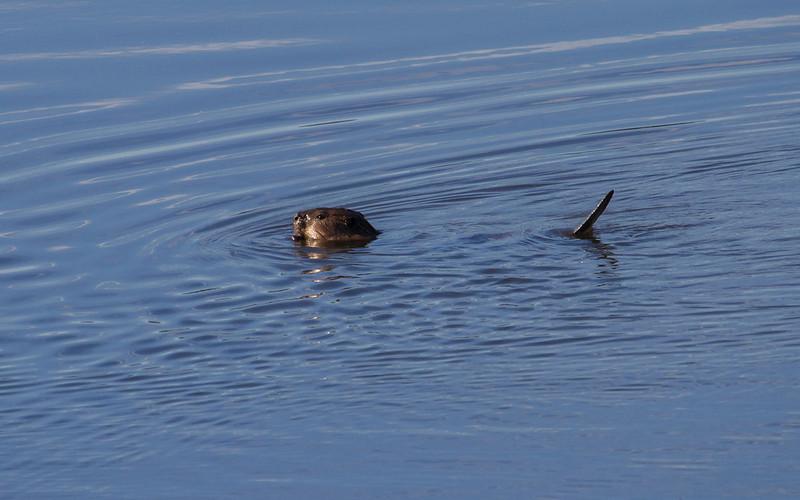 Bever / Beaver<br /> Linnesstranda, Lier 11.8.2012<br /> Canon EOS 7D + EF 100-400 mm 4,5-5,6 L