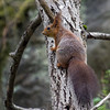 Ekorn / Red Squirrel<br /> Østensjøvannet, Oslo 20.5.2013<br /> Canon EOS 7D + EF 100-400 mm 4,5-5,6 L