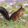 Ekorn / Red Squirrel<br /> Jensvoll, Lier 19.9.2021<br /> Canon EOS R5 + EF 500mm f/4L IS II USM + 1.4x Ext