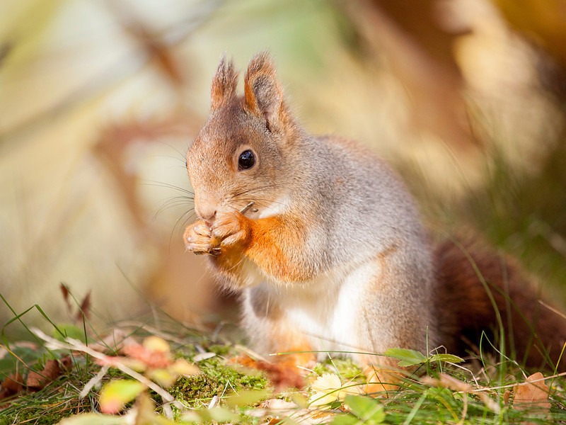 Ekorn / Red Squirrel<br /> Linneslia, Lier 26.10.2013<br /> Canon EOS 5D Mark II + EF 100-400 mm 4,5-5,6 L