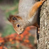 Ekorn / Red Squirrel<br /> Linneslia, Lier 3.11.2013<br /> Canon EOS 5D Mark II + EF 100-400 mm 4,5-5,6 L